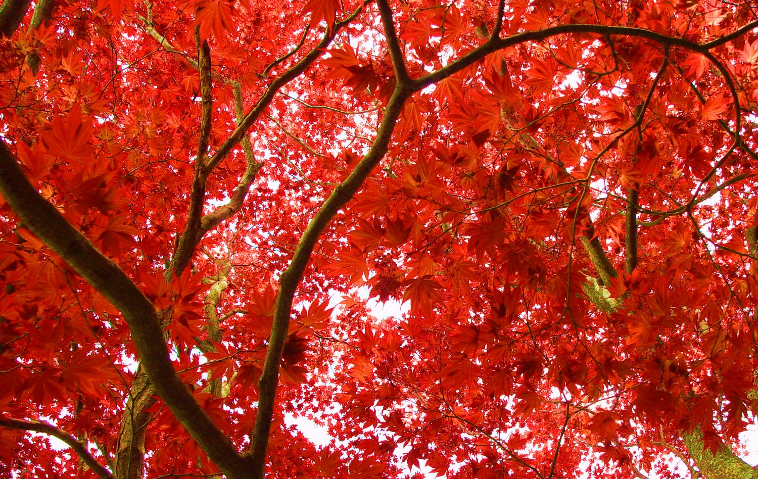japanese maple tree pictures. Japanese maple